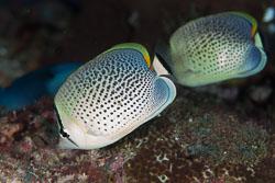 BD-130711-Maldives-0128-Chaetodon-guttatissimus.-Bennett.-1833-[Peppered-butterflyfish].jpg